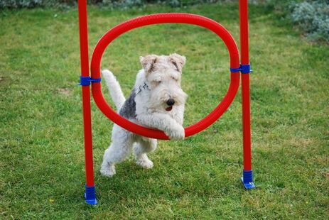 Dog jumping through hoops in garden